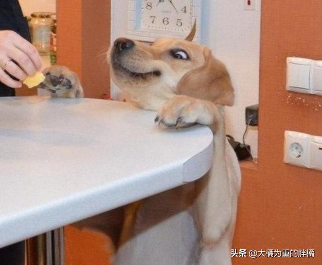 """""""我就對你吐舌頭了,過來打我呀"""",10張搞笑狗狗圖讓你笑不停"""