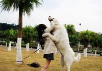 世界名犬——大白熊