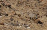 新疆博州溫泉地區發現國家二級保護動物兔猻