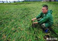 種植水稻時,該如何預防水稻倒伏?
