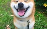 萌寵圖集:寵物界的逗逼柴犬