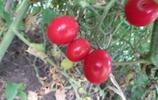櫻桃西紅柿