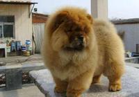 對主人特別忠誠的5種狗狗,它們已被城市禁養,你養過哪種?