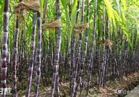 甘蔗產自哪裡?我國古代有甘蔗嗎?一口氣搞懂甘蔗的前世今生