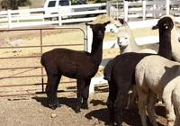 羊駝有什麼營養價值?適合什麼人吃?
