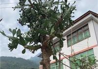 十年前種下棵仙人掌,之後隨父親外出打工,回來後仙人掌長成樹了