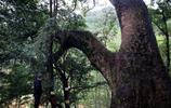 婺源紅豆杉樹最多的古村,樹齡千年22棵,紅豆無人摘