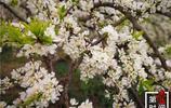 """廣西桂林3000畝李花開得正好,群山覆""""雪""""美如仙境,一起約嗎?"""