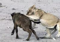 野牛群縱然驅趕了獅群,也救不回小野牛了