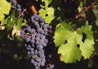 葡萄酒中的黑醋栗,究竟是什麼東西?