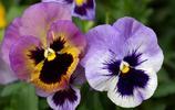 三色堇高清植物,這種花兒很是漂亮