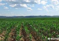 種植玉米時採用平均行距產量高,還是採用寬窄行距產量高?
