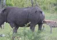 鬣狗想要掏肛犀牛,犀牛卻一副超享受的樣子