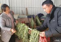 農村人種特色作物,扔掉的葉子居然賣16元一斤,真是意外收入!