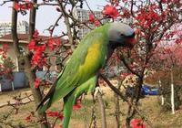 有一種大型鸚鵡是語言高手,中國數量最多,待遇比田園犬好多了!