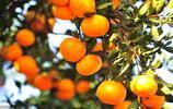 你知道磷酸二氫鉀在柑橘上怎麼用嗎?用了會有什麼效果?(一)