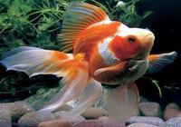 養金魚的風水知識——7招飼養好金魚