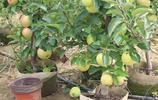 家裡有院子閒來沒事可以種上這幾種果樹,易活好養,來年就結果