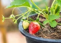 在室內種出能不斷開花結果的盆栽草莓,還能不斷扦插繁殖