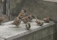 花鳥畫家不可缺少的素材——麻雀