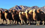 動物圖集:駱駝
