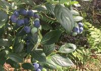 摘藍莓,吃藍莓,好開心