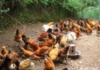 農村的老獵人說蛇不敢吃公雞,只敢欺負老母雞,這是真的嗎?為什麼?