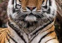 東北虎、獅子、棕熊誰是老三?