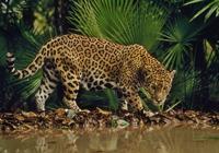 物種百科:美洲豹