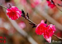 花卉攝影:竹外桃花三兩枝