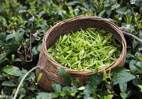 夏天喝綠茶,為什麼不能用開水泡?知道這綠茶順口溜,以後別瞎泡