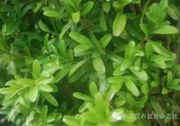 愛木盆景I 細說黃楊盆景(上)——關於生長特性與日常養護