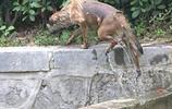 營救荷花水池中的落水狗