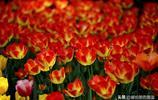梅園第十九屆鬱金香節,各種各樣的鬱金香,真是太美了