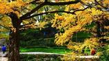 風景圖集:妥樂古銀杏風景區,古樹綿綿,小橋映虹