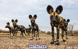 世界上奔跑速度最快的十種動物排名