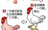 日本利用基因技術培育出新雞種,生出可抗癌雞蛋