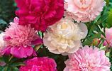 此花漂亮不遜牡丹,花色喜慶,花期達120天,丟土就能活