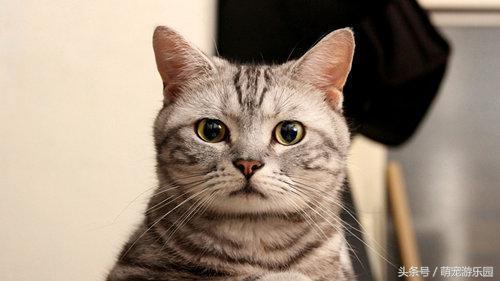 貓為什麼會得皮膚病 預防貓咪皮膚病方法