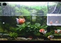 精美金魚,蘭壽和珍珠視覺衝擊,感受金魚的魅力