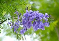 藍花楹滿樹紫藍色,雅麗清秀,花語寧靜深遠憂鬱,絕望中等待愛情