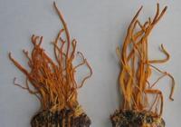蛹蟲草真的有那麼神奇嗎?
