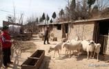 山西7旬農村老人養羊50年,竟然不願意讓母羊生小羊是為啥