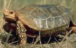 地球上10大難養的陸龜,印度星龜居榜首,你有養過一種嗎?