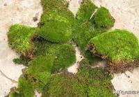 """""""苔蘚""""能當花養灑水就活,純天然盆景,比花卉好看多了"""