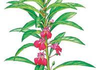 每天認識一味中草藥——象徵著悽美愛情的鳳仙花