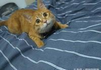 資深貓奴(雲養貓)的我,從來沒想過我會養一隻橘貓,還是大隻的