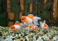 把品種不同的魚兒往魚缸裡一扔,這就叫混養觀賞魚?