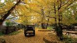 金色落葉,不要錯過銀杏最美的季節!