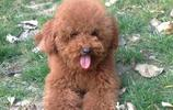 寵物:貴賓犬的分類標準